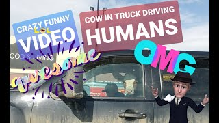 Funny Baby Calf Driving Truck